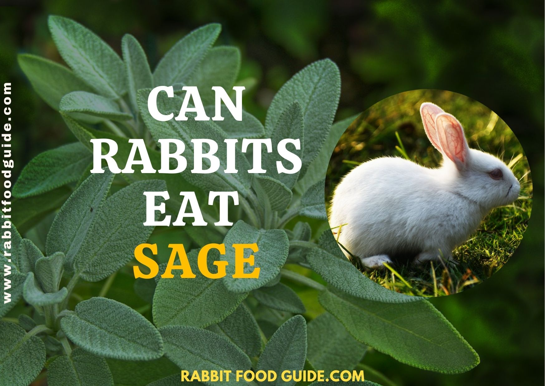 Can Rabbits Eat Sage Proper Guide & Things We Should Know